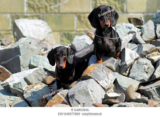 two pedigree dogs German smooth-haired Dachshund sitting on rocks and watching closely