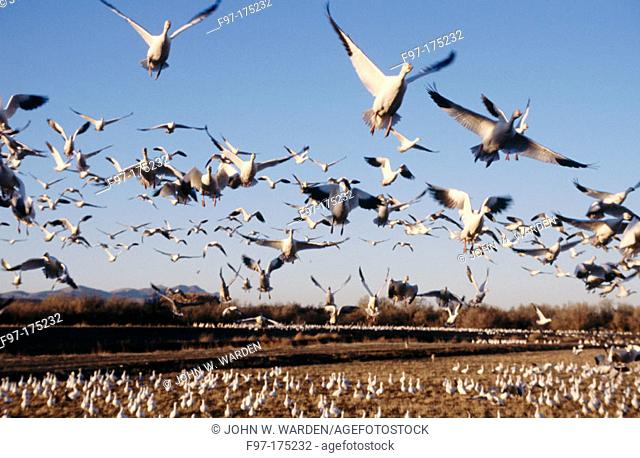 Snow Geese (Chen caerulescens) flighting. New Mexico. USA