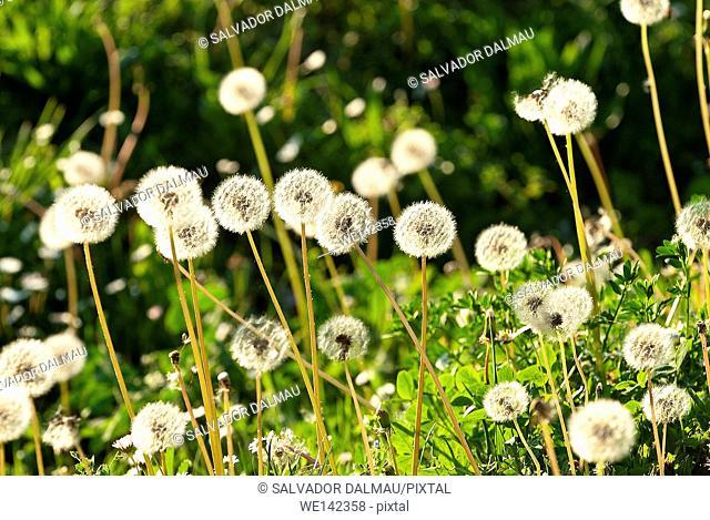 dandelion flower field with sun backlight,location porqueres,girona,catalonia,spain,europe,