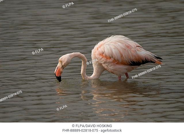 Greater Flamingo, South American race