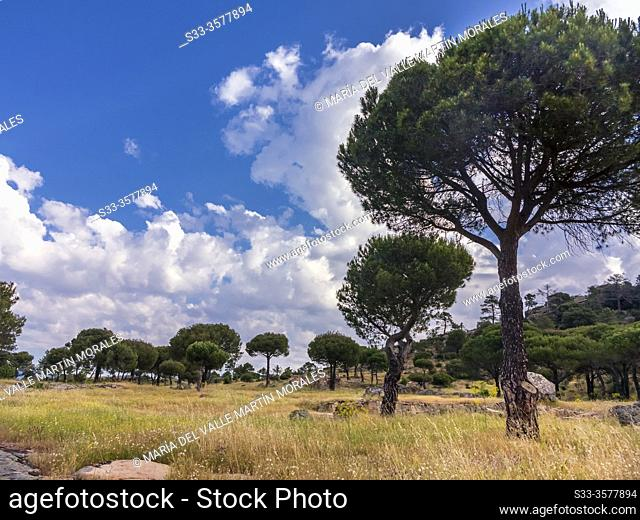 Clouds over The Piquillo pinewood in Cadalso de los Vidrios. Madrid. Spain. Europe