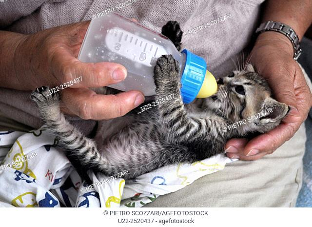 Naha, Okinawa, Japan: a kitten being fed with a baby bottle
