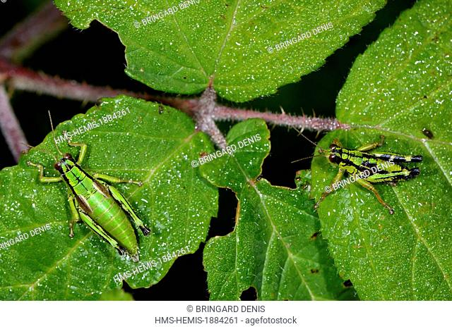 France, Territoire de Belfort, Ballon d Alsace, locust (Miramella subalpina) on bramble leaf