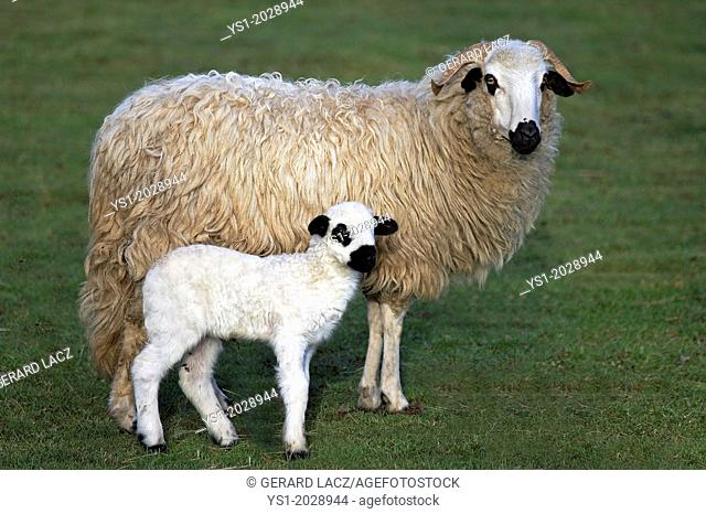 Thones and Marthod Domestic Sheep, Ewe and Lamb