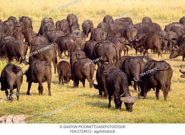 Cape buffalos (Syncerus caffer), Chobe National Park, Botswana