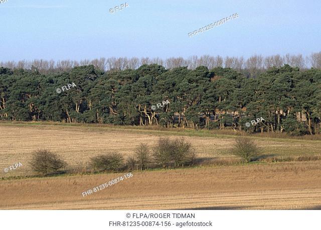 Windbreak of Scots Pine Pinus sylvestris, Breckland, Norfolk, England