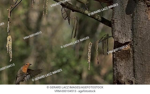 Great Tit, parus major , Adults taking off from Tree Trunk, Flying and Landing, Slow motion