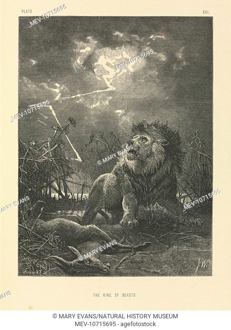 Plate 16 taken from The Life and Habits of Wild Animals, illustrated with designs by Joseph Wolf, London 1874