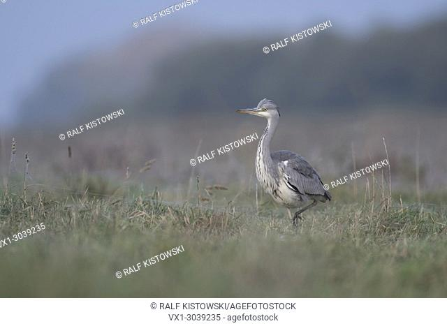 Grey Heron ( Ardea cinerea ) striding stealthily through a wet meadow, frontal side view, soft light, in typical environment