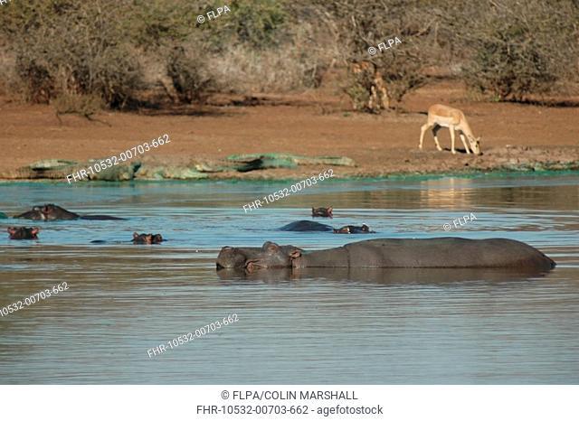 Hippopotamus (Hippopotamus amphibius) group, at surface of water, with algae-covered Nile Crocodile (Crocodylus niloticus) adults, basking
