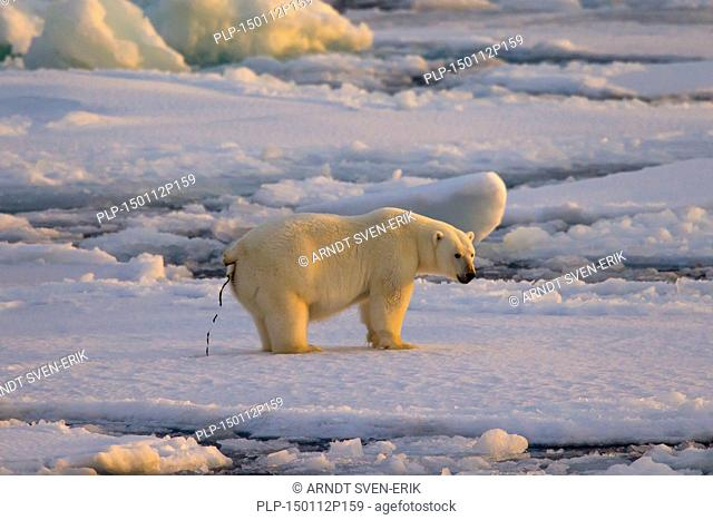 Polar bear (Ursus maritimus / Thalarctos maritimus) defecating on pack ice at sunset, Svalbard, Norway