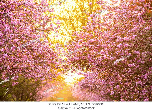 blossoming cherry trees on West 7 Avenue in Vancouver, BC, Canada
