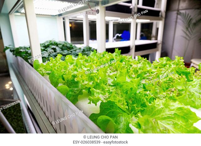 Organic hydroponic vegetable cultivation farm at indoor