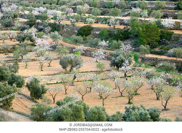 Almond trees flowering. Lleida, Catalonia. Spain