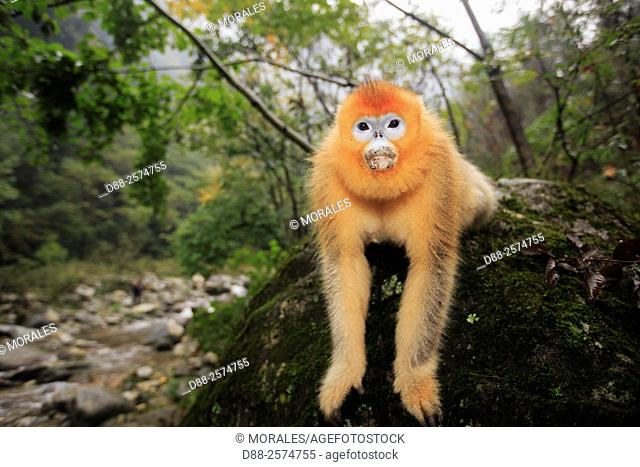 Asia, China, Shaanxi province, Qinling Mountains, Golden Snub-nosed Monkey Rhinopithecus roxellana, sitting on a rock