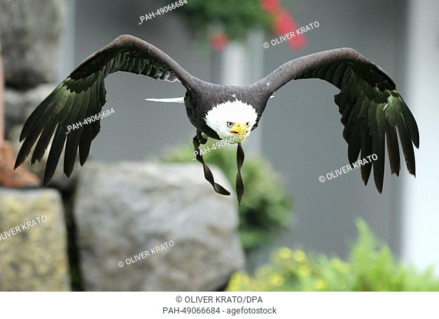 Bald eagle 'Diva' is seen during a free flight show at the Adlerwarte Berlebeck bird park in Detmold, Germany, 23 May 2014