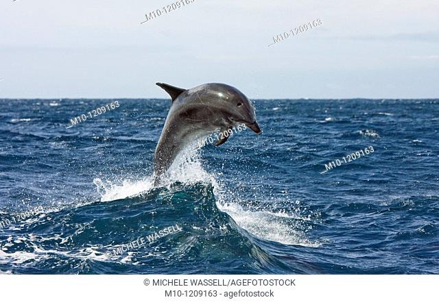 Off-shore Bottlenose dolphin leaping out of the water
