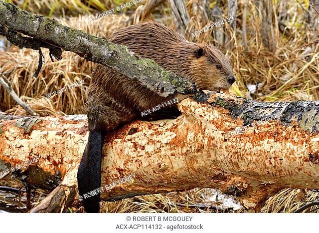 An adult beaver' Castor canadensis', that has climbed up on a fallen tree trunk to feed on bark, at the beaver boardwalk in Hinton Alberta Canada