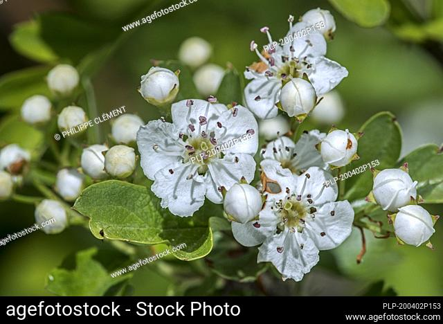Blossoming common hawthorn / oneseed hawthorn / single-seeded hawthorn / mayblossom (Crataegus monogyna) showing white flowers in spring