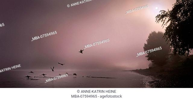 Fog clearing up over River Rhine, ducks taking off, Bonn, Germany