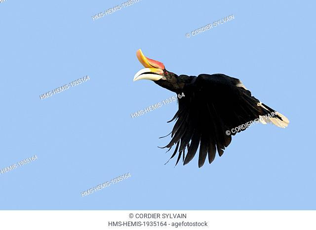 Rhinoceros Hornbill In Flight Stock Photos And Images Agefotostock