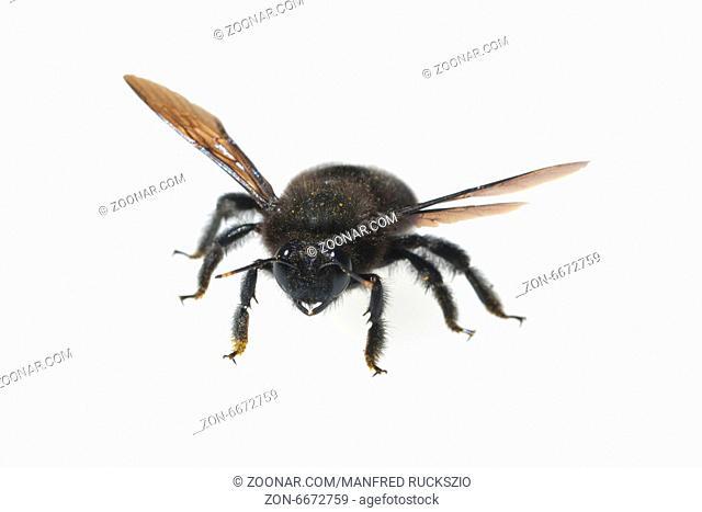 Holzbiene; Xylocopa; violacea