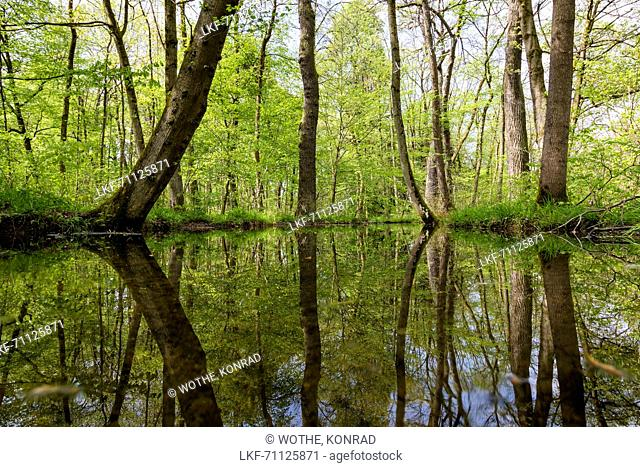 pool in deciduous Forest in spring, Upper Bavaria, Germany, Europe