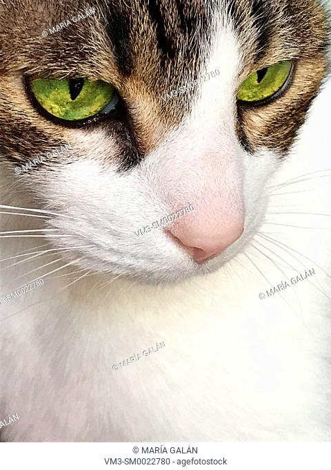 Portrait of tabby and white cat. Close view