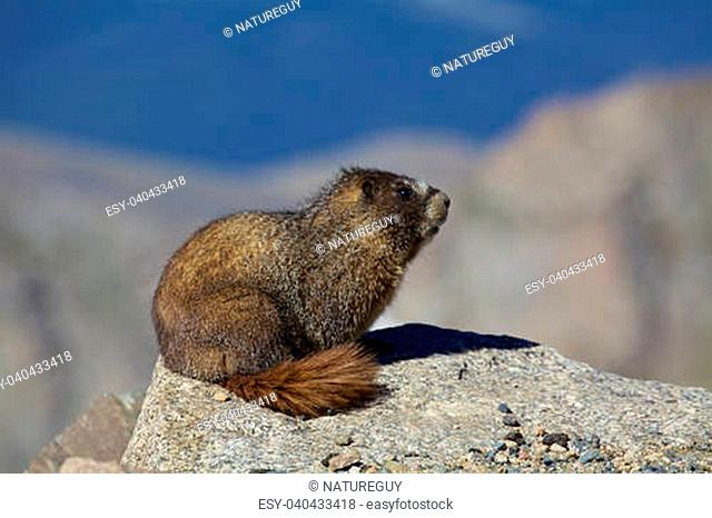 a yellow-bellied marmot on a rock inthe high country