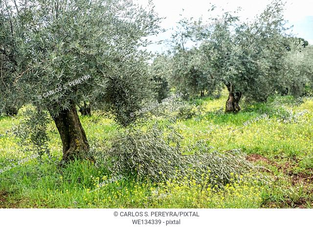 Olive groves in Granada province, Andalusia, Spain