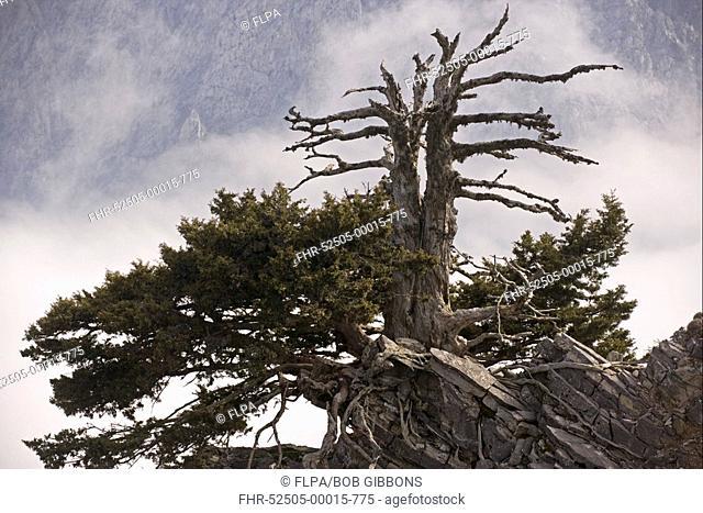 Italian Cypress Cupressus sempervirens forma horizontalis habit, ancient tree, White Mountains, Western Crete, Greece