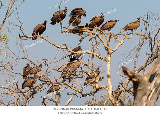 Vultures on a tree South Africa