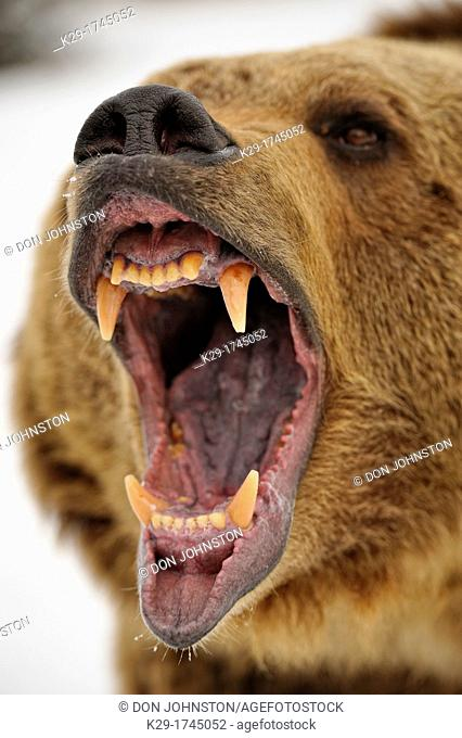 Grizzly bear Ursus arctos Snarling, fierce expression, Bozeman, Montana, USA