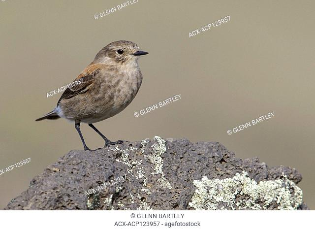 Austral Negrito (Lessonia rufa) perched on the ground in Chile