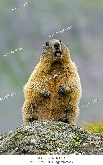 Alarmed Alpine marmot (Marmota marmota) standing up and calling from rock in the mountains, Hohe Tauern National Park, Carinthia, Austria