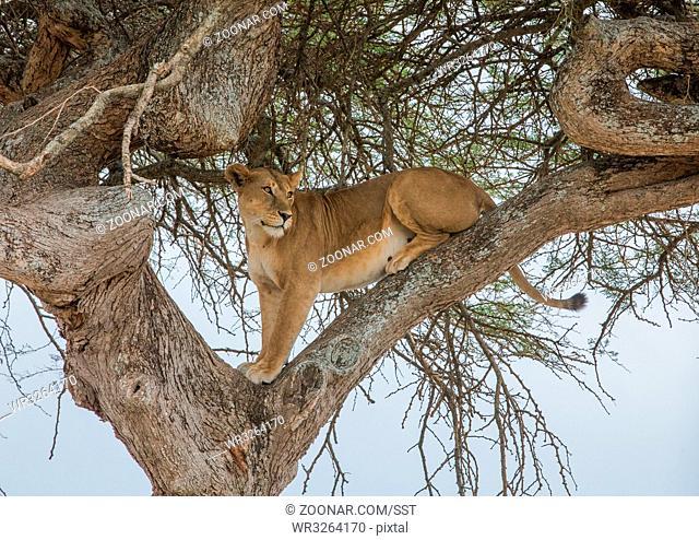 Löwin auf der Lauer im Serengeti Nationalpark, Tansania, Ost Afrika. Lioness on the watch in the Serengeti National Park, Tansania, East Africa
