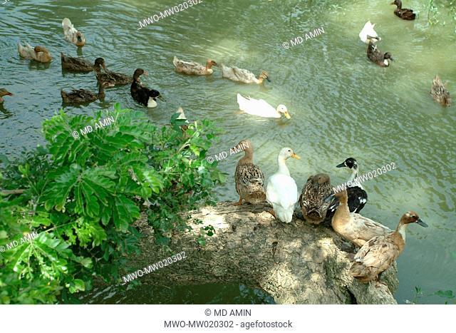 Ducks loiter in a pond, at a village, in Mymensingh, Bangladesh June 26, 2009