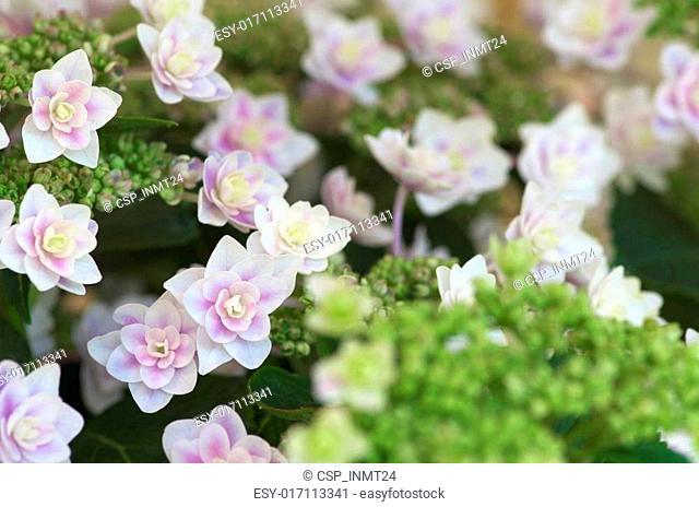 white and pink hydrangea