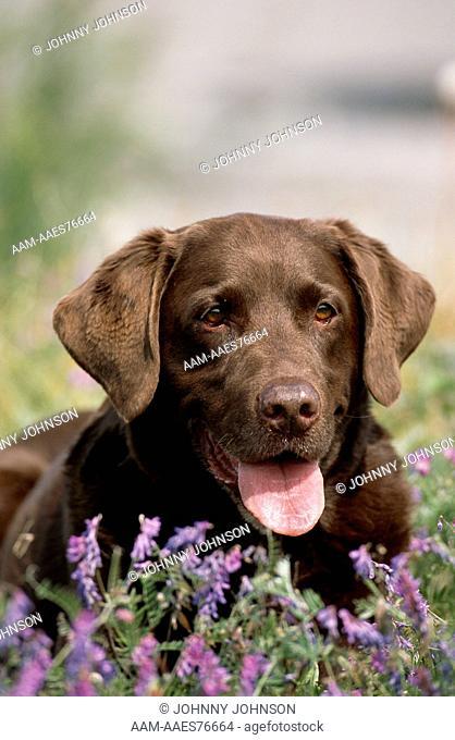 Chocolate Labrador Retriever dog in field of hairy vetch flowers (Vicia villosa) (PR) Anchorage, Alaska, USA, August