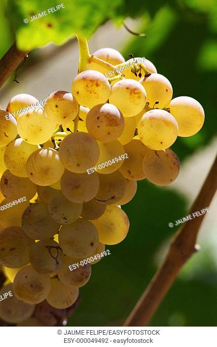 White grapes (Vitis vinifera, var. Xarel.lo), Alt Penedès. Barcelona province, Catalonia, Spain