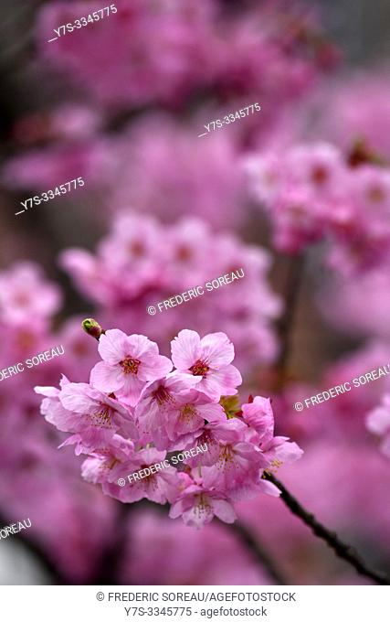 Spring cherry blossoms in Takayama, Japan, Asia