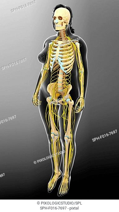 Illustration of female skeletal and nervous systems