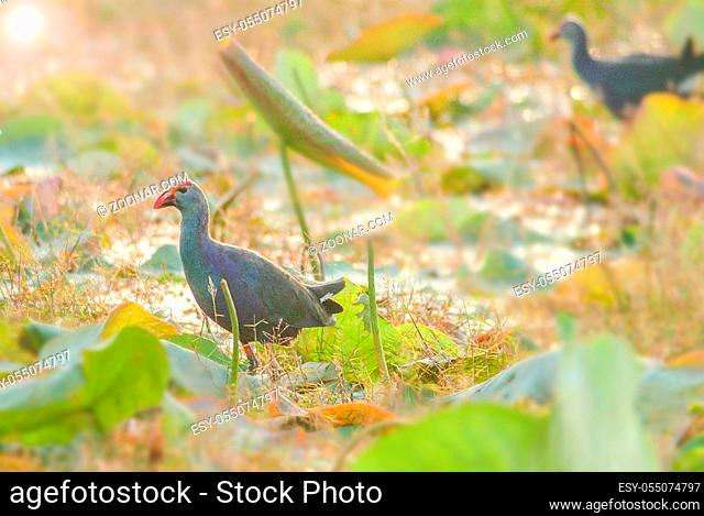 Blurry Purple Swamphen, birds background. It is a large rail, mainly dusky black above, with a broad dark blue collar, and dark blue to purple below