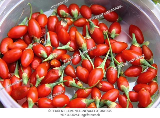 Picking of berries of Goji, lycium barbarum