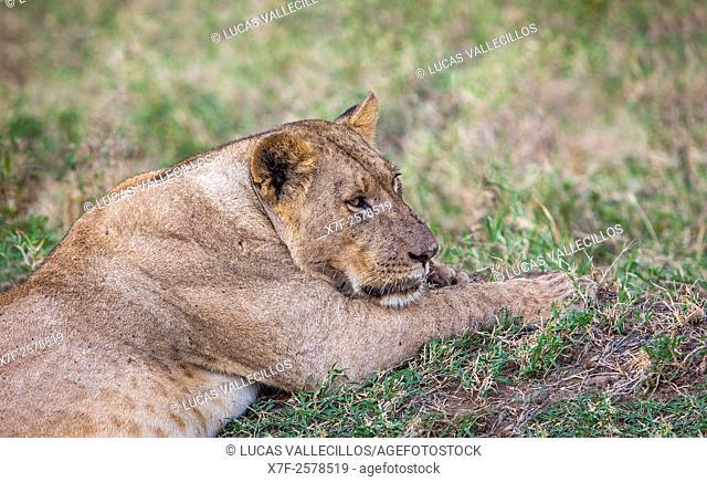 lioness, Lake Nakuru National Park, Kenya