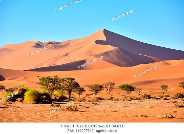 Dune in the Sossusvlei area just before sunrise, typical of the sparse vegetation with bouquets and acacia, taken on 01.03.2019