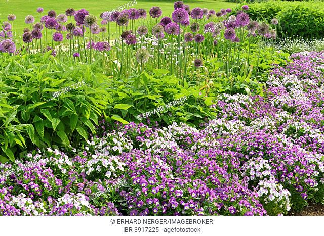 Park of Gardens garden show, Giant Onion (Allium giganteum), Horned Pansy or Horned Violet, Bad Zwischenahn, Lower Saxony, Germany