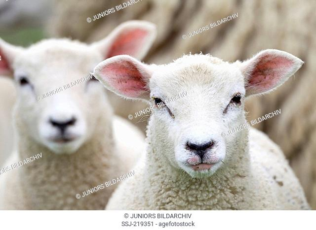 Domestic Sheep. Portrait of two lambs. Schleswig-Holstein, Germany