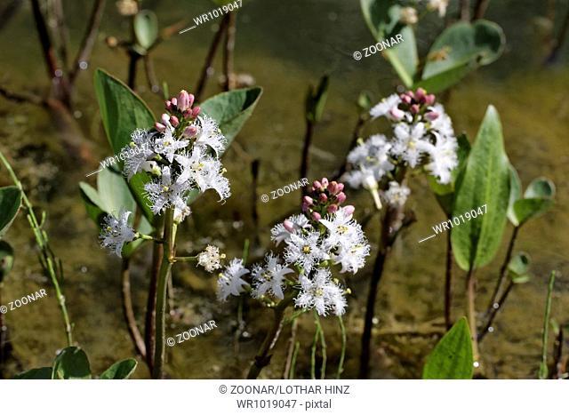 Menyanthes trifoliata, Marsh Trefoil, Buckbean