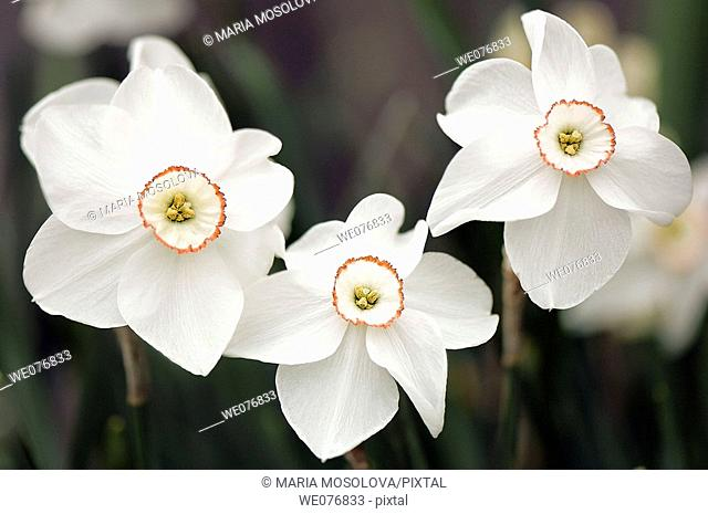 White Poeticus Daffodil Trio. Narcissus hybrid. April 2007, Maryland, USA
